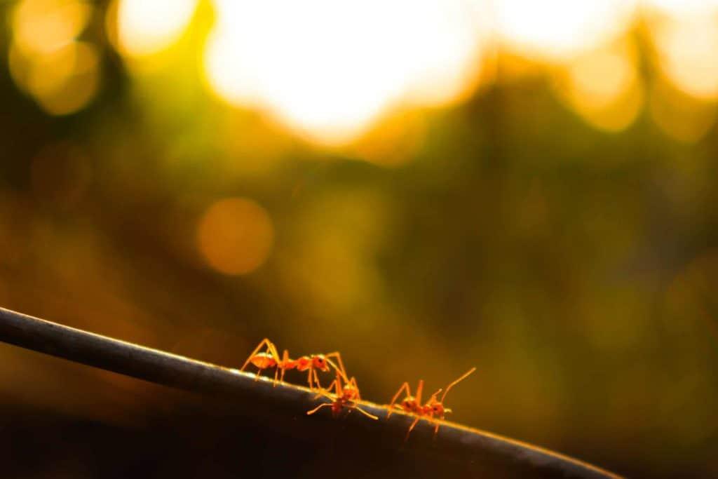 Fire Ants Brisbane